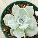 リラシナ 7.5cmポット エケベリア Echeveria Lilacina 福岡県産 多肉植物 多肉 観葉植物 インテリアグリーン 寄せ植えに 観葉植物 多肉植物 (まとめ買いがお得♪)
