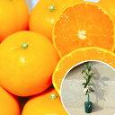 1本で実がなる みかん・せとかPVP 苗木 1年生 みかんの木 接ぎ木 苗 柑橘 素掘りポット苗 樹高0.4m前後 15cmポット 果樹苗 果樹 果樹園用 植木 木 (お得なセット販売もございます)