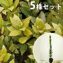 ■送料無料■【5本セット】 ゲッケイジュ 樹高1.0m前後 ...