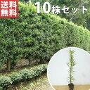 ■送料無料■【10本セット】 イヌマキ 樹高0.4m前後 1...