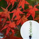 イロハモミジ 樹高0.5m前後 10.5cmポット (いろは紅葉 イロハカエデ いろは楓 紅葉 モミジ もみじ) 苗木 植木 苗 庭木 生け垣 シンボルツリー 落葉樹(お得なセット販売もございます)