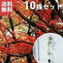 ■送料無料■【10本セット】 イロハモミジ 樹高0.8m前後...