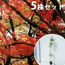 【5本セット】 イロハモミジ 樹高1.0m前後 12cmポット (いろは紅葉 イロハカエデ いろは楓 紅葉 モミジ) 苗木 植木 苗 庭木 生け垣 シンボルツリー 落葉樹
