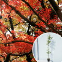 【送料無料】イロハモミジ 樹高1.0m前後 12cmポット (いろは紅葉 イロハカエデ いろは楓 紅葉 モミジ) 苗木 植木 苗 庭木 生け垣 シンボルツリー 落葉樹(お得なセット販売もございます)