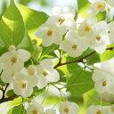 エゴノキ 樹高0.5m前後 10.5cmポット えごのき エゴの木 白い清楚な花が、枝いっぱいに咲く木 苗木 植木 苗 庭木 生け垣 シンボルツリー 落葉樹(お得なセット販売もございます)