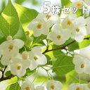 【5本セット】 エゴノキ 樹高1.0m前後 12cmポット えごのき エゴの木 白い清楚な花が、枝いっぱいに咲く木 苗木 植木 苗 庭木 生け垣 シンボルツリー 落葉樹