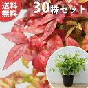■送料無料■【30本セット】 オタフクナンテン 樹高0.15...