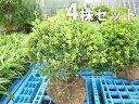 ■送料無料■【4本セット】 キンメツゲ(玉物) 樹高0.3m...