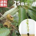 ■送料無料■【15本セット】 クヌギ 樹高0.3m前後 10.5cmポット くぬぎ 椚 櫟 苗木 植