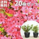 ■送料無料■【20本セット】 クルメツツジ(赤) 樹高0.2...