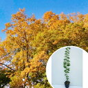 ケヤキ 樹高0.5m前後 10.5cmポット けやき 欅 苗木 植木 苗 庭木 生け垣 シンボルツリ