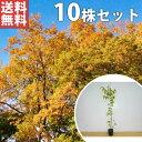 【送料無料】【10本セット】 ケヤキ 樹高1.0m前後 12cmポット けやき 欅 苗木 植木 苗