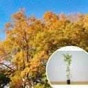 ケヤキ樹高1.0m前後12cmポットけやき欅苗木植木苗庭木生け垣シンボルツリー落葉樹(お得なセット販売もございます)