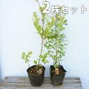 【2本セット】 ブルーベリー 2品種セット 樹高0.4m前後 13.5cmポット (ティフブルーとホームベルのセット) ラビットアイ 苗木 植木 苗 庭木 生け垣 果樹