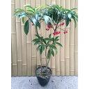 マンリョウ 樹高0.3m前後 15cmポット 万両 赤実 まんりょう 苗木 植木 苗 庭木 生け垣 中木・低木(お得なセット販売もございます)