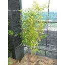 【送料無料】シマトネリコ 樹高1.5m前後 根巻 病害虫も少ないです。人気の株立ち 苗木 植木 苗 庭木 生け垣 シンボルツリー 常緑樹