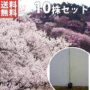 【送料無料】【10本セット】 ヤマザクラ 樹高1.0m前後 10.5cmポット 山桜 サクラ・さくら