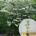 楽天季の香(きのか)■送料無料■ヤマボウシ 樹高1.0m前後 12cmポット やまぼうし 苗木 植木 苗 庭木 生け垣 花を楽しむ木 春に花を咲かせる植木特集(お得なセット販売もございます)
