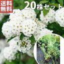 ■送料無料■【20本セット】 コデマリ 樹高0.3m前後 15cmポット こでまり 小手毬 (花木・