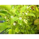 ソヨゴ 樹高0.3m前後 10.5cmポット そよご 常緑樹人気の庭木 苗木 植木 苗 庭木 生け垣 シンボルツリー 常緑樹(お得なセット販売もございます)