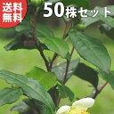■送料無料■【50本セット】 チャノキ 樹高0.3m前後 1...