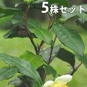 【5本セット】 チャノキ 樹高0.25m前後 10.5cmポ...