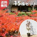 ■送料無料■【15本セット】 ドウダンツツジ 樹高0.3m前...