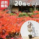 ■送料無料■【20本セット】 ドウダンツツジ 樹高0.3m前...