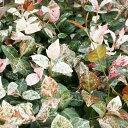 楽天季の香(きのか)ハツユキカズラ 9cmポット ハツユキカヅラ はつゆきかずら 初雪カズラ 苗木 植木 苗 庭木 生け垣 花を楽しむ木 初夏に花を咲かせる植木特集(お得なセット販売もございます)