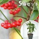 【5本セット】 マンリョウ 樹高0.2m前後 12cmポット 万両 赤実 まんりょう 苗木 植木 苗 庭木 生け垣 中木・低木