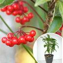 マンリョウ 樹高0.2m前後 12cmポット 万両 赤実 まんりょう 苗木 植木 苗 庭木 生け垣 中木・低木(お得なセット販売もございます)