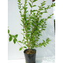 楽天季の香(きのか)ムラサキシキブ(コムラサキシキブ) 樹高0.5m前後 15cmポット 紫式部 むらさきしきぶ 苗木 植木 苗 庭木 生け垣 中木・低木(お得なセット販売もございます)