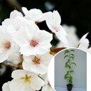 ヤマザクラ 樹高0.5m前後 10.5cmポット 山桜 サクラ・さくら・桜 苗木 植木 苗 庭木 生け垣 花を楽しむ木 春に花を咲かせる植木特集(お得なセット販売もございます)