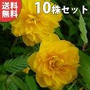 ■送料無料■【10本セット】 ヤエヤマブキ 樹高0.5m前後...