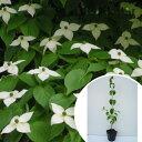 楽天季の香(きのか)ヤマボウシ 樹高0.5m前後 10.5cmポット やまぼうし 苗木 植木 苗 庭木 生け垣 花を楽しむ木 春に花を咲かせる植木特集(お得なセット販売もございます)