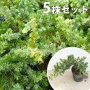 【5ポットセット】 ブルーパシフィック 10.5cmポット ...