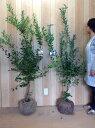 【送料無料】ブルーベリー・ティフブルーとブルーシャワーのセット 樹高1.2m前後 根巻 2本セット ラビットアイ 苗木 植木 苗 庭木 生け垣 果樹(お得なセット販売もございます)