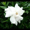 楽天季の香(きのか)ヒメクチナシ 樹高0.25m前後 13.5cmポット ひめくちなし (コクチナシ) 苗木 植木 苗 庭木 生け垣 花を楽しむ木 初夏に花を咲かせる植木特集(お得なセット販売もございます)