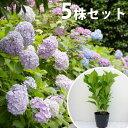 ■送料無料■【5本セット】 アジサイ 樹高0.4m前後 15...