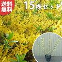 【送料無料】【15本セット】 レンギョウ 樹高0.5m前後 15cmポット れんぎょう 苗木 植木