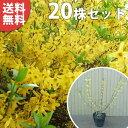 【送料無料】【20本セット】 レンギョウ 樹高0.5m前後 15cmポット れんぎょう 苗木 植木 苗 庭木 生け垣 花を楽しむ木 春に花を咲かせる植木特集