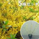 【5本セット】 レンギョウ 樹高0.5m前後 15cmポット れんぎょう 苗木 植木 苗 庭木 生け
