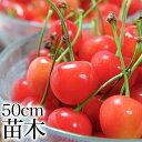 【ポイント5倍】さくらんぼ 高砂 苗木 苗 果樹 果樹苗 1年生 サクランボ 桜桃