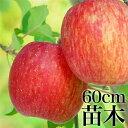 【 送料無料 】 りんご ふじ 苗木 苗 果樹 果樹苗 富士 リンゴ 林檎 送料込み ギフト