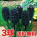 【送料無料/在庫あり】 ブラックヒヤシンス ミッドナイトミスティック 3球 セット ヒヤシンス 球根 ガーデニング 鉢植え 地植え 花壇