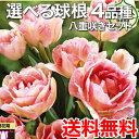 【送料無料/在庫あり】 選べる球根 4品種 八重咲き セット チューリップ 球根 ガーデニング 鉢植え 地植え 花壇 秋植え