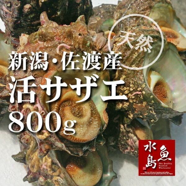 新潟・佐渡産 天然 活サザエ・さざえ 約80g×10個 約800g