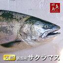 【送料無料】新潟県産 天然サクラマス 本鱒 生一尾 2.0~2.4kg