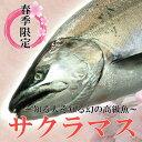 日本海の春の美味 サクラマス(本鱒・桜鱒) 2.0kg生一尾