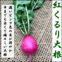 【11月末頃収穫予定】紅くるり大根(小)1本
